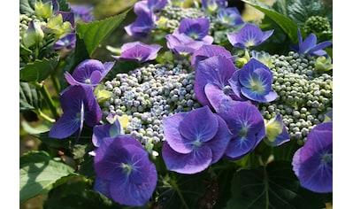 BCM Hortensie »Blaumeise«, Höhe: 30 - 40 cm, 1 Pflanze kaufen
