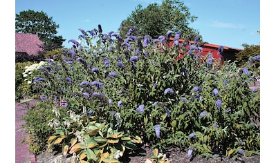 Flieder »Sommerflieder Adonis Blue®«, 3 Pflanzen kaufen