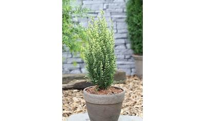 Hecke »Scheinzypresse White Spot«, Höhe: 25 - 30 cm, 3 Pflanzen kaufen