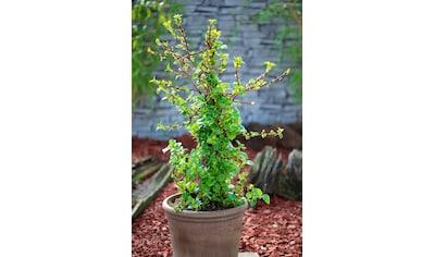 BCM Hortensie »Hydrangea petiolaris«, Höhe: 50 - 60 cm, 1 Pflanze kaufen