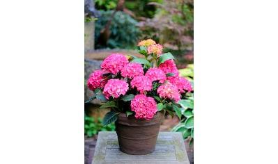 BCM Hortensie »Selma Pink«, Höhe: 30 - 40 cm, 1 Pflanze kaufen