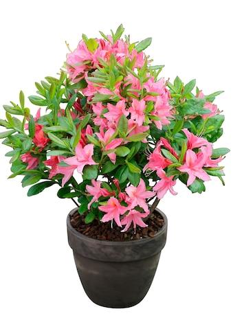 BCM Hecken »Rhododendron Jolie Madame«, Höhe: 15 cm, 3 Pflanzen kaufen