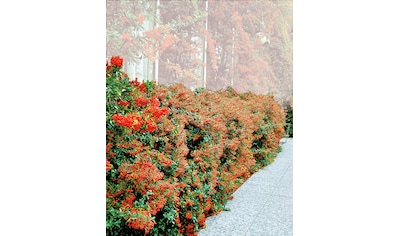 BCM Gehölze »Feuerdorn Red Column« kaufen