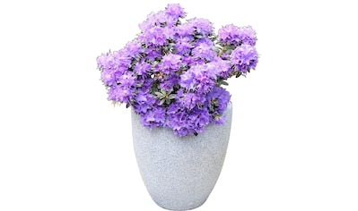 BCM Rhododendron »Ronny«, Höhe: 20 cm, 1 Pflanze kaufen
