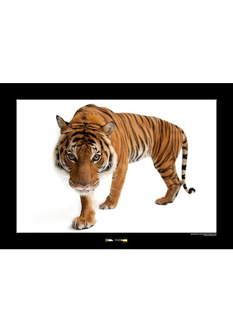 Komar Poster »Malayan Tiger«, Tiere, Höhe: 30cm kaufen