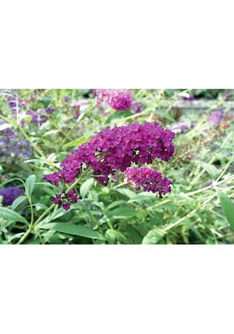 Flieder »Sommerflieder Royal Red«, 3 Pflanzen kaufen
