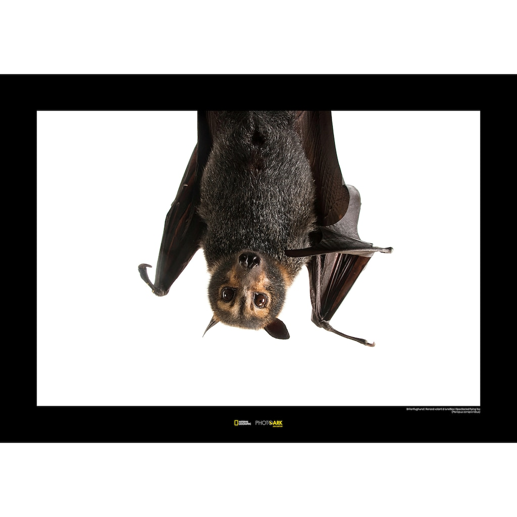 Komar Poster »Spectacled Flying Fox«, Tiere, Höhe: 30cm