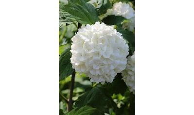 BCM Gehölze »Schneeball 'Roseum'«, (Spar-Set), Lieferhöhe: ca. 80 cm, 2 Pflanzen kaufen