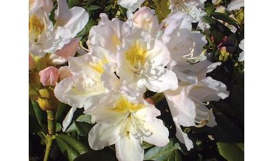 BCM Rhododendron »Cunninghams White«, Höhe: 15 cm, 1 Pflanze kaufen