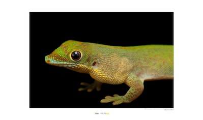 Komar Poster »Flat-tailed Day Gecko«, Tiere, Höhe: 30cm kaufen