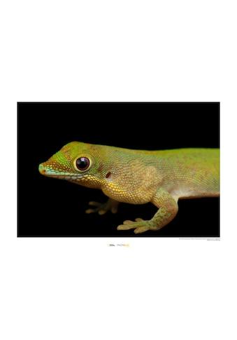 Komar Poster »Flat-tailed Day Gecko«, Tiere, Höhe: 30cm kaufen