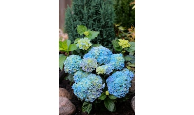 BCM Hortensie »Music Collection Blues Blue«, Höhe: 30 - 40 cm, 1 Pflanze kaufen