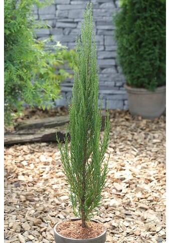 BCM Hecken »Wacholder Blue Arrow«, Höhe: 60-80 cm, 1 Pflanze kaufen