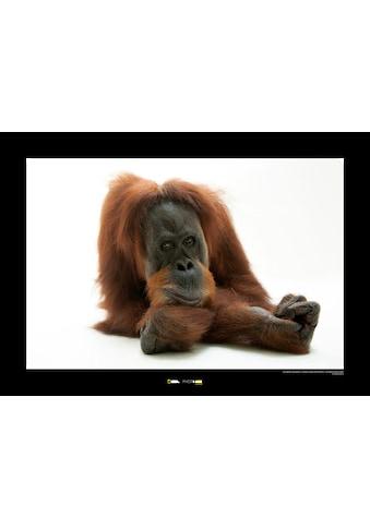Komar Poster »Sumatran Orangutan«, Tiere, Höhe: 30cm kaufen