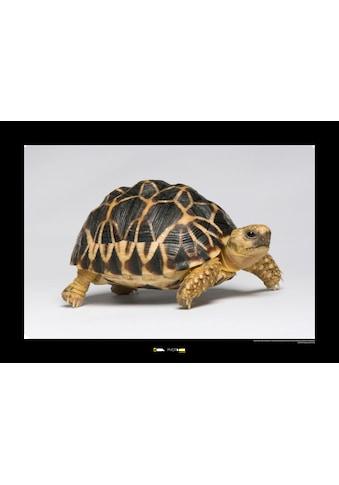 Komar Poster »Burmese Star Tortoise«, Tiere, Höhe: 50cm kaufen