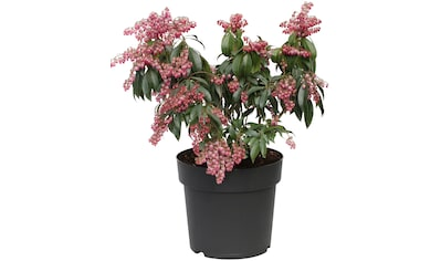 BCM Gehölze »Pieris japonica Little Frosty«, (Spar-Set), Lieferhöhe ca. 45 cm, 1 Pflanze kaufen