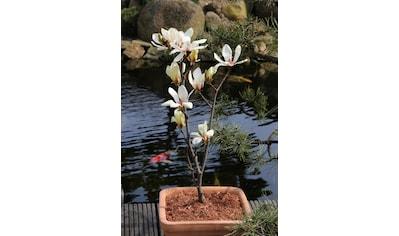 BCM Gehölze »Magnolie 'Sunrise'«, Lieferhöhe ca. 60 cm, 1 Pflanze kaufen