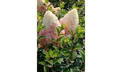 BCM Hortensie »Silver Dollar«, Höhe: 50 - 60 cm, 1 Pflanze kaufen