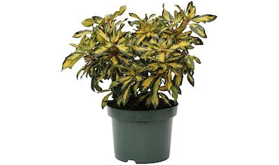 BCM Gehölze »Rhododendron 'Blattgold'«, (Spar-Set), Lieferhöhe: ca. 60 cm, 1 Pflanze kaufen