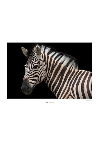 Komar Poster »Damara Zebra«, Tiere, Höhe: 40cm kaufen