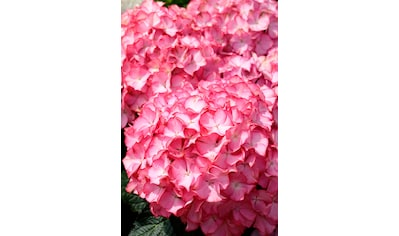 BCM Gehölze »Hortensie Pink Annabell«, Höhe: 50-60 cm, 2 Pflanze kaufen