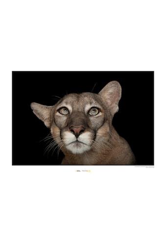 Komar Poster »Florida Panther Portrait«, Tiere, Höhe: 40cm kaufen