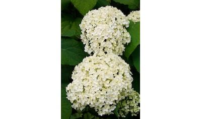 BCM Gehölze »Hortensie Annabell«, Höhe: 50-60 cm, 1 Pflanze kaufen