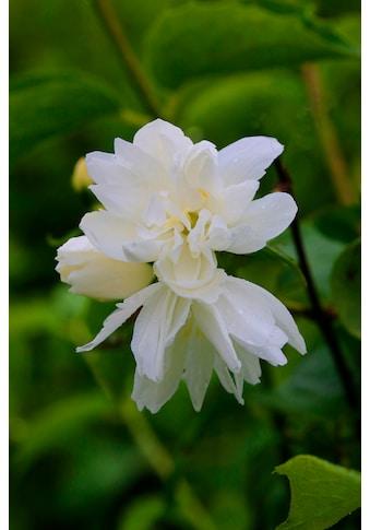 BCM Hecken »Duft Jasmin Snowgoose«, Höhe: 30-40 cm, 3 Pflanzen kaufen
