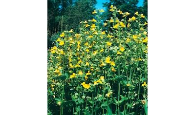 BCM Staude »Gauklerblumen« kaufen