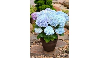 BCM Hortensie »Magical Amethyst Blue«, Höhe: 30 - 40 cm, 1 Pflanze kaufen
