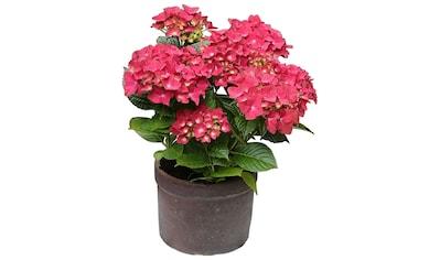BCM Hortensie »Leuchtfeuer«, Höhe: 30 - 40 cm, 1 Pflanze kaufen