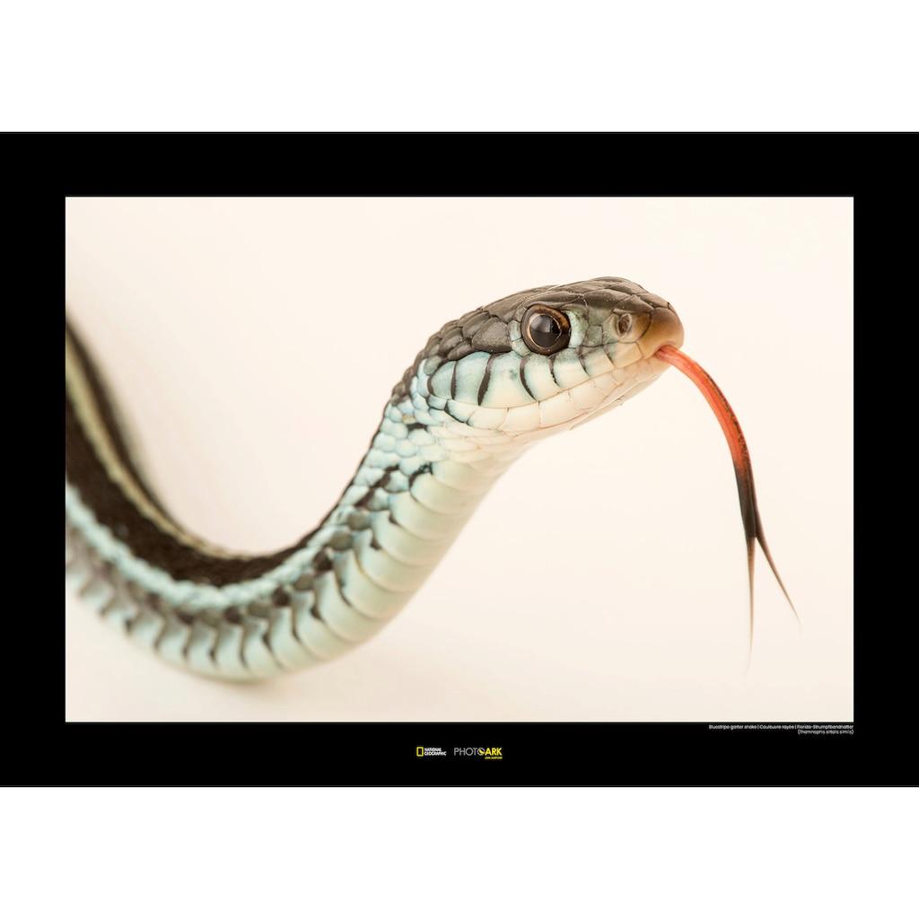 Komar Poster »Bluestripe Garter Snake«, Tiere, Höhe: 30cm