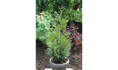 Hecke »Lebensbaum Gelderland«, Höhe: 60 - 80 cm, 3 Pflanzen kaufen
