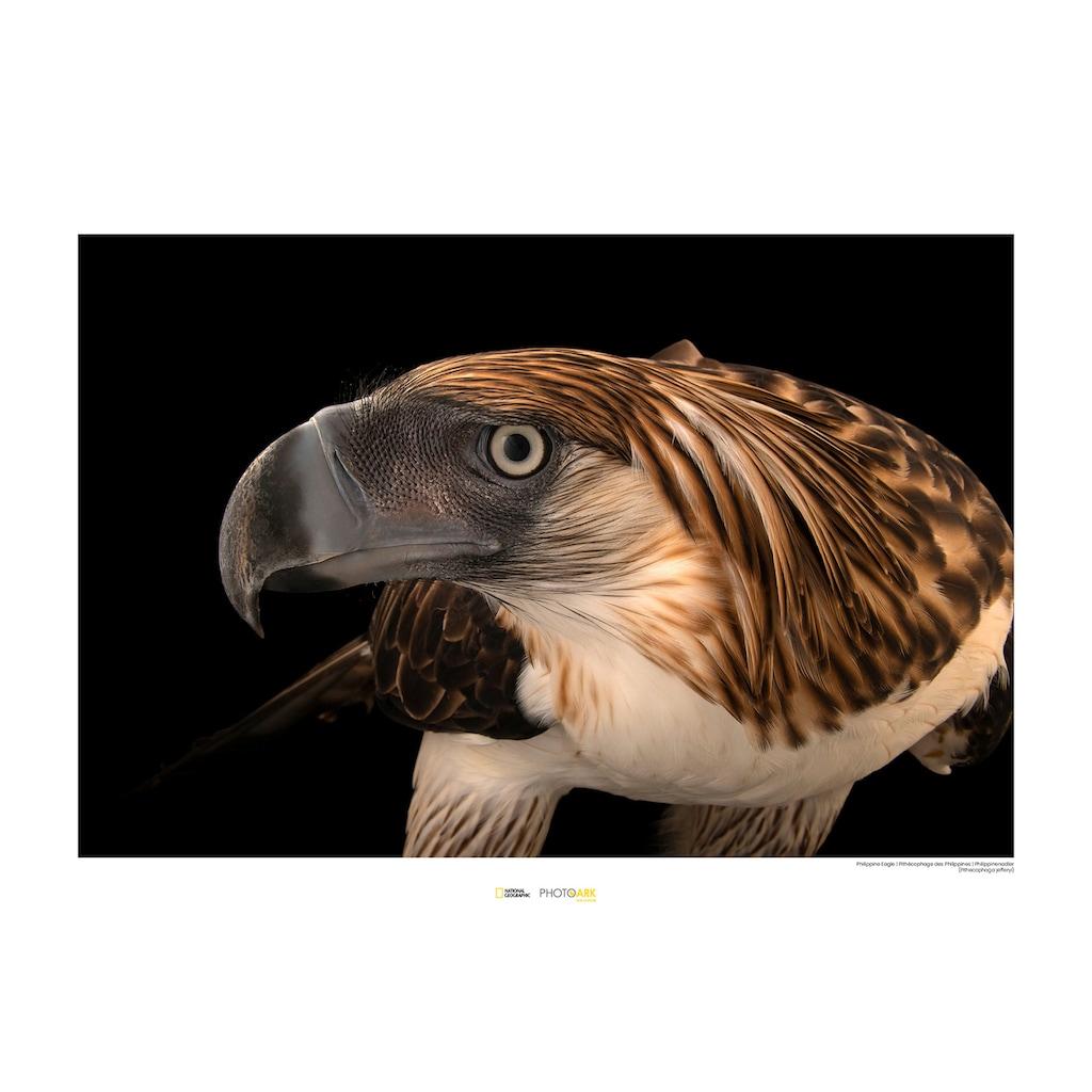 KOMAR Wanddekoration »Philippine Eagle«