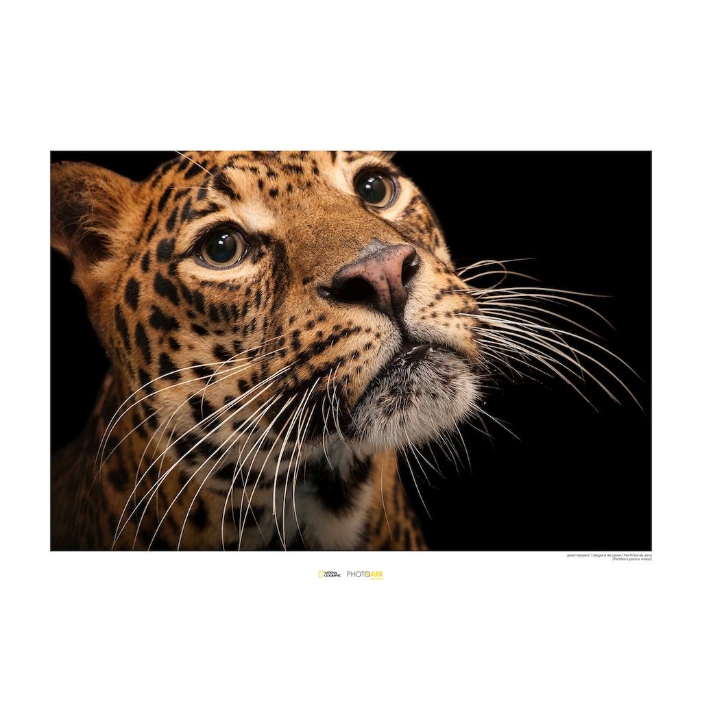 Komar Poster »Javan Leopard«, Tiere, Höhe: 40cm