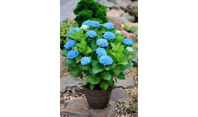 BCM Hortensie »Magical Revolution Blue«, Höhe: 30 - 40 cm, 1 Pflanze kaufen