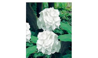 BCM Hortensie »Music Collection Reggae White«, Höhe: 30 - 40 cm, 1 Pflanze kaufen