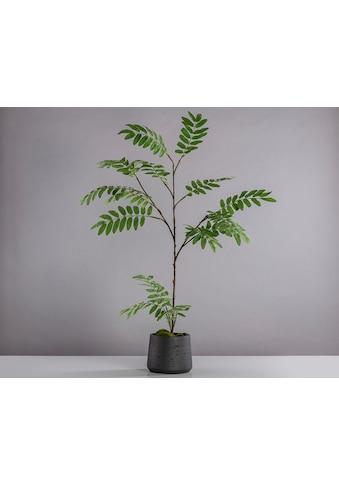 Blütenwerk Künstliche Zimmerpflanze »Akazie« kaufen