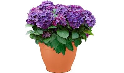 BCM Gehölze »Hortensie Deep Purple Dance« kaufen