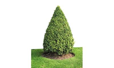 BCM Gehölze »Buchsbaum Kegel« kaufen