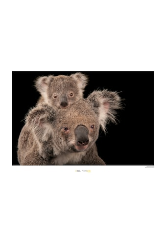 Komar Poster »Koala Bear«, Tiere, Höhe: 40cm kaufen