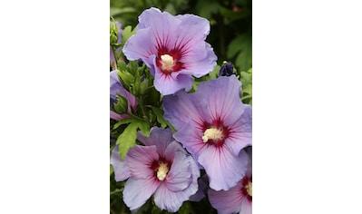 BCM Gehölze »Hibiscus Blue Bird«, Höhe: 80 cm, 1 Pflanze kaufen