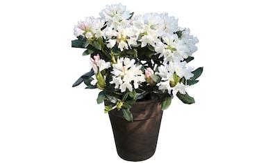 BCM Beetpflanze »Cunninghams White«, 15 cm Höhe, 4 Pflanzen kaufen