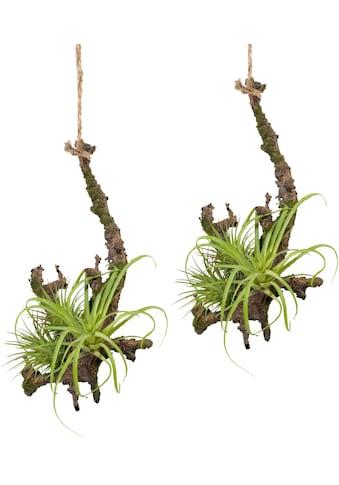 Creativ green Kunstpflanze »Hängeast mit Tillandsie« (2 Stück) kaufen