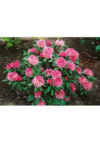 BCM Hecken »Rhododendron Herbstzauber« kaufen