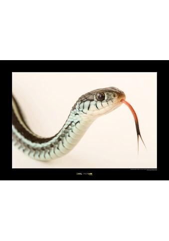 Komar Poster »Bluestripe Garter Snake«, Tiere, Höhe: 30cm kaufen