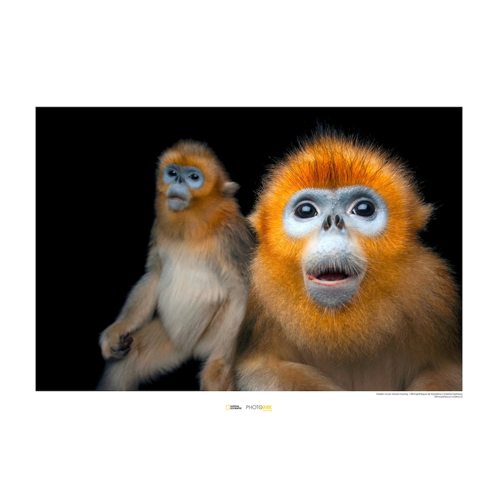 Komar Poster »Golden Snub-nosed Monkey«, Tiere, Höhe: 40cm
