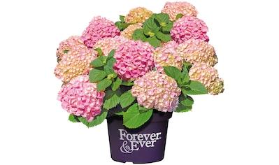BCM Gehölze »Hortensie Forever and Ever Pink«, Höhe: 30-40 cm, 1 Pflanze kaufen