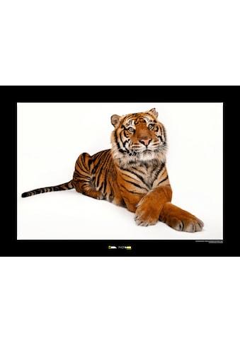 Komar Poster »Sumatran Tiger«, Tiere, Höhe: 30cm kaufen