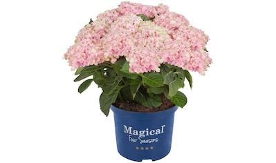 BCM Gehölze »Hortensie Magical Revolution Pink«, Höhe: 30-40 cm, 1 Pflanze kaufen